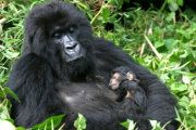 Mountain Gorillas: Mother with baby