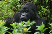 Mountain Gorilla: Gorilla pictures