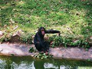 Chimps in the Wildlife Education Centre in Entebbe, Uganda