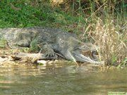 Nile crocodile in Murchison Falls national park