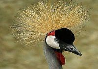 Maranatha Tours and Travel Uganda: Crested Crane