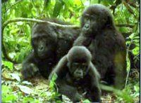 Maranatha Tours and Travel Uganda: Berggorillas