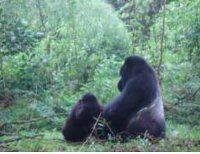 Maranatha Tours and Travel Uganda: Gorilla-Trekking