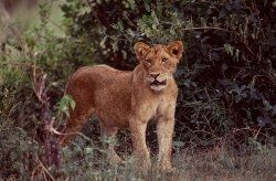 Lion safaris with Atlas Safaris Uganda