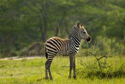 Zebra im Lake-Mburo-Nationalpark