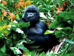 Advantage Safaris: Gorilla-Trekking
